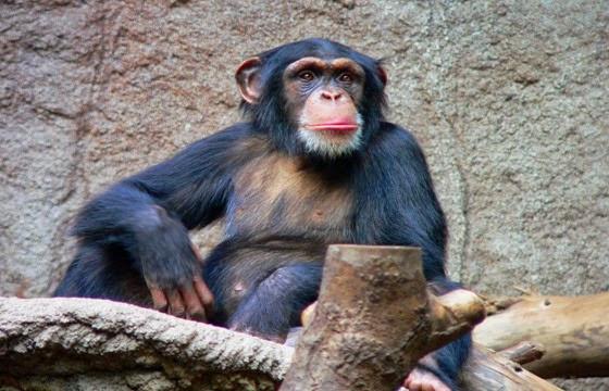 الشمبانزي الكميروني