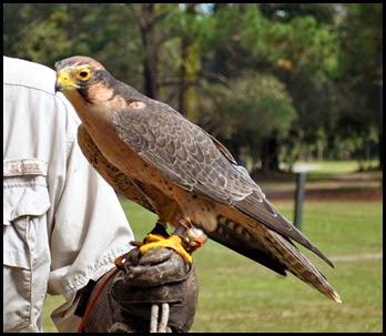 05b - Lanner Falcon