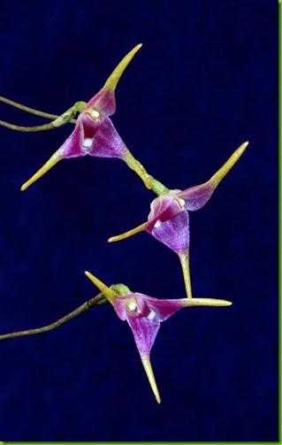 ORQ Porroglossum meridionale