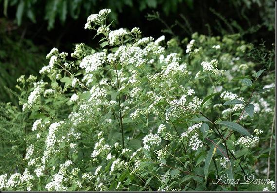 RL_Euphorbia2_Snakeroot