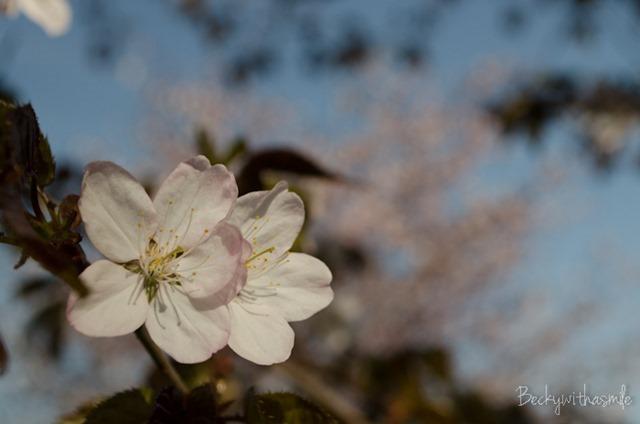 2013-05-26 Sakura 004