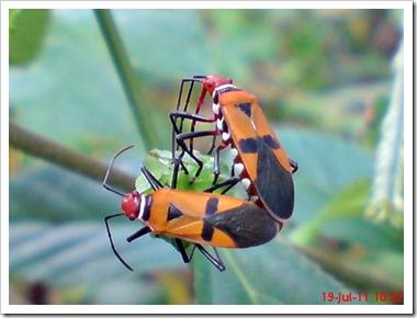 Dysdercus cingulatus (Bapak Pucung) Kawin