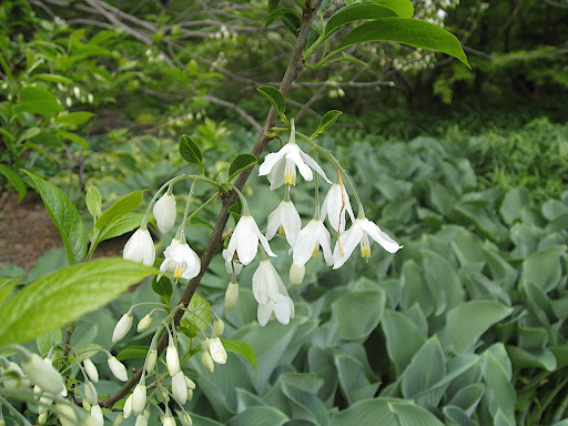 Flowers of Styrax japonica. We're about to enter Chanticleer's Asian woods - a shady streamside garden full of botanical delights.