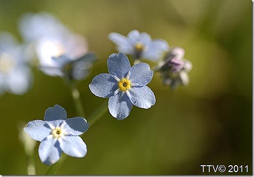 kukkia hyttynen mato 004