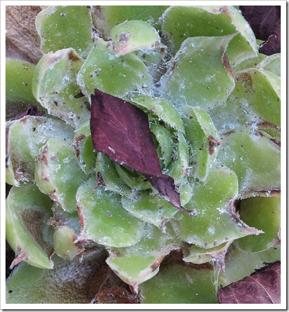 110828_sempervivums-with-mealybugs_02