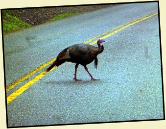 05 - Turkey Crossing the Road
