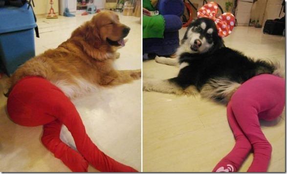 dogs-pantyhose-8