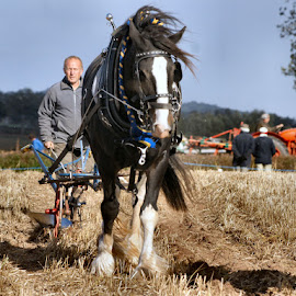 At the ploughing match by Sue Bernhard - Smith - Animals Horses ( ploughing, equine, horse, heavy, animal )
