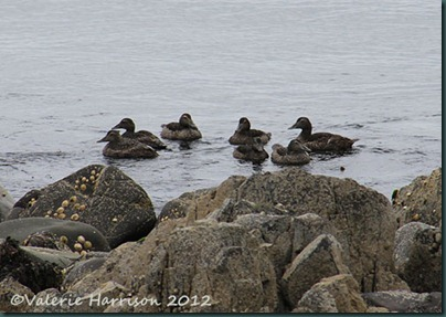 41-Female-eiders