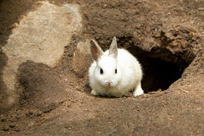 white-rabbit-exiting-rabbit-hole