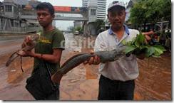 ikan lele banjir