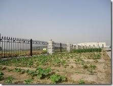 2010年5月の野菜畑