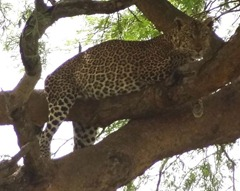Leopard seen in Queen Elizabeth National Park