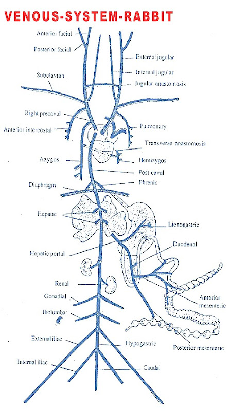 Anatomy of venous system