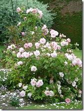 kailzie roses