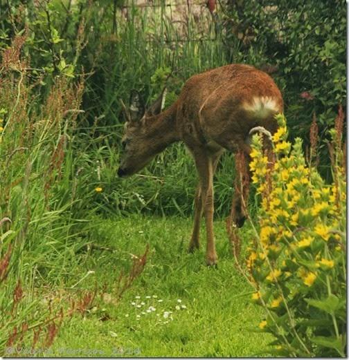 6 roe-deer (2)