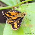 Orange Dart, Wide-brand Grass-dart