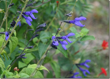 Salvia guaranitica, Black & Blue salvia, Hummingbird