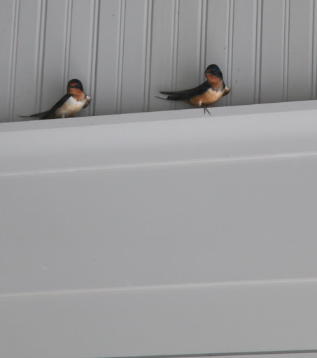 I noticed that these swooping birds suddenly arrived in the carport.