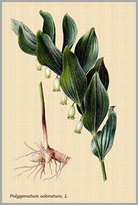 Sello Salomón y rizoma