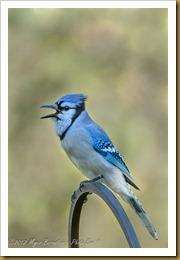 Blue Jay - Cyanocita cristata