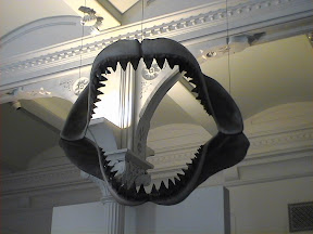 145 - Fauces de tiburon en el Museo de Historia Natural.jpg