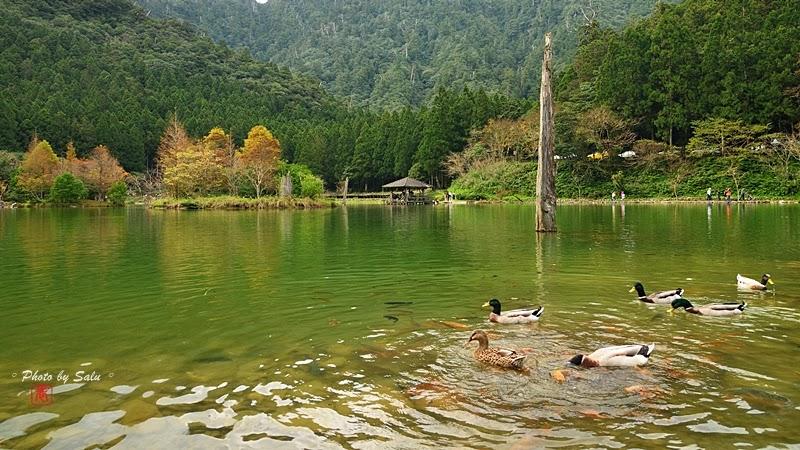 宜蘭 大同 明池國家森林遊樂區 黑天鵝 落羽松