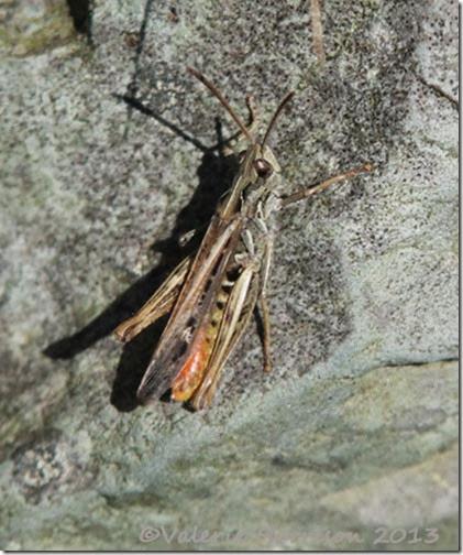 25-grasshopper