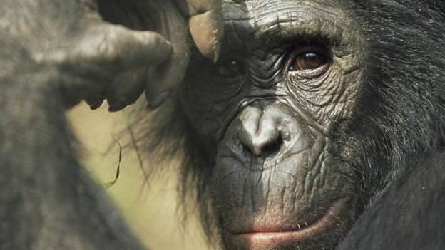 Bonobos have less far territory to roam. Great apes, such as gorillas, chimps, and bonobos, are running out of places to live, says a 2012 study. Scientists have recorded a dramatic decline in the amount of habitat suitable for great apes, according to the first such survey across the African continent. BBC