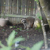 Racoon in Backyard.jpg