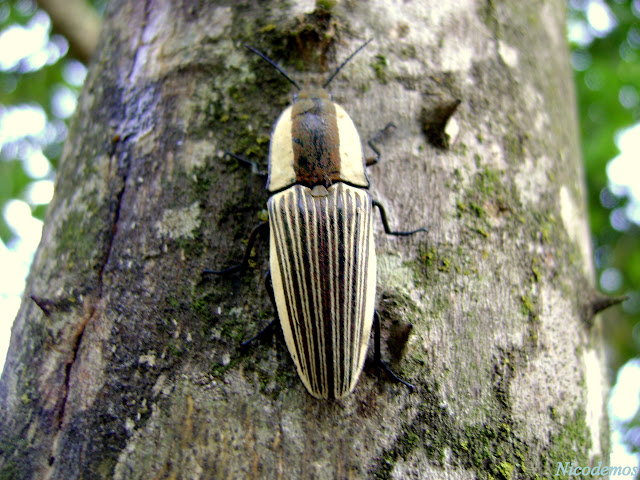 Elateridae : Agrypninae : Chalcolepidus zonatus ESCHS, 1829. Pitangui (MG, Brésil), 21 octobre 2009. Photo : Nicodemos Rosa
