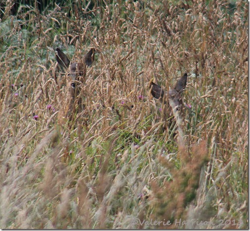 37-roe-deer-fawns