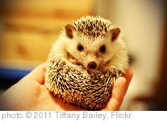 'Gendo the Hedgehog' photo (c) 2011, Tiffany Bailey - license: http://creativecommons.org/licenses/by/2.0/