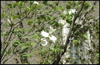 dogwood