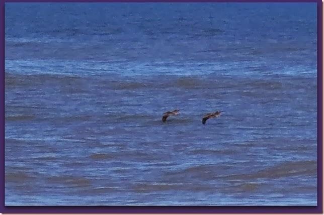 pelicansIMG_9122