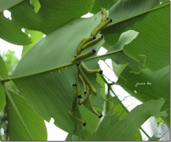 台灣黃蝶的幼蟲