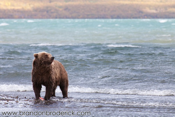 Beach Grizzly Cross-eyed