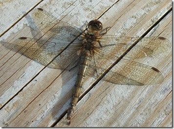 common darter 3