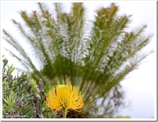 130715_KulaBotanicalGarden_Cycas-circinalis_001_thumb[1]