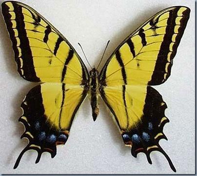 twotailedswallowtail