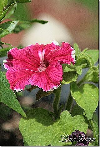 Petunia_Burgundy_CanCan