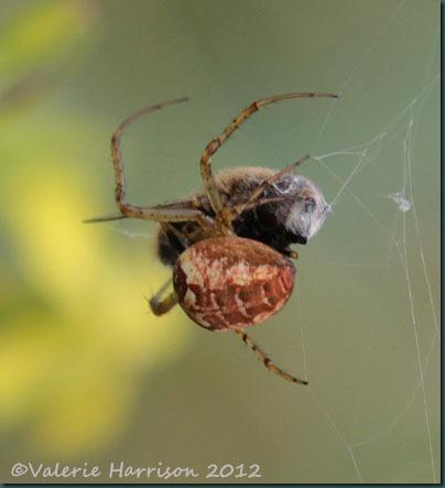 19-spider