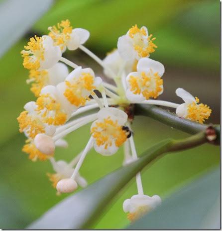 calophyllum soulattri