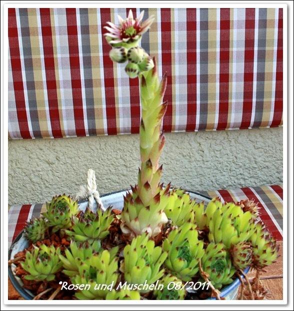 3Steinpflanze