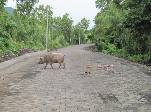 Piglets crossing the street, Ometepe, Nicaragua