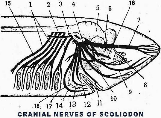cranial-nerves-scoliodon