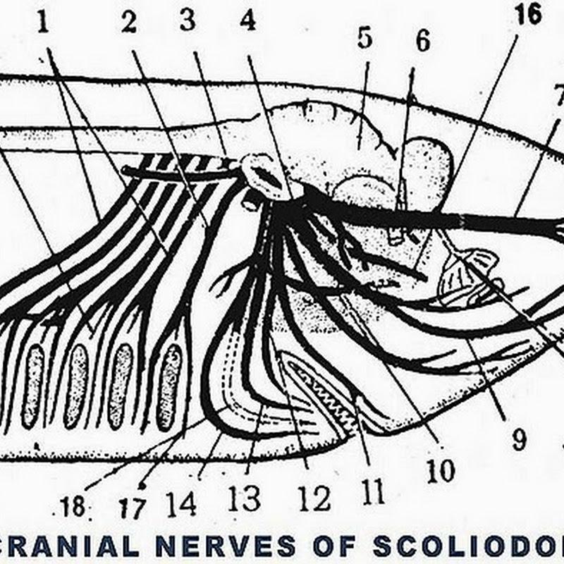 Cranial nerves of scoliodon shark biozoom ccuart Choice Image
