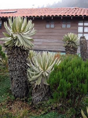 frailejón plants