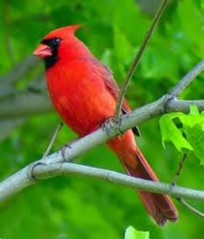 Amazing Pictures of Animals,photo, Nature, exotic, funny, incredibel, Zoo, Northern Cardinal, (Cardinalis cardinalis), Bird, Aves, Alex (8)