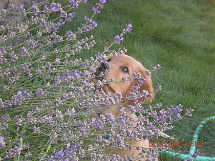 Ziggy contemplates the plight of a bee on a Lavender Plant... Reno, NV